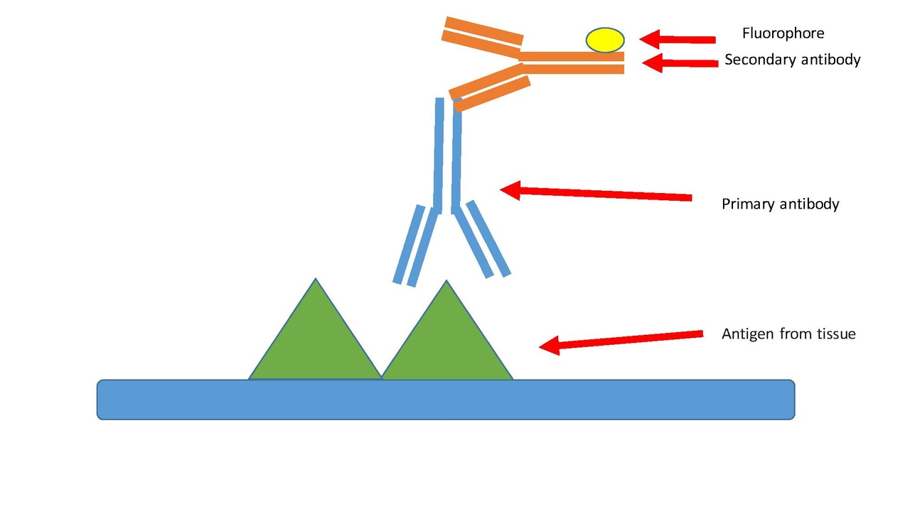 application of monoclonal antibodies pdf
