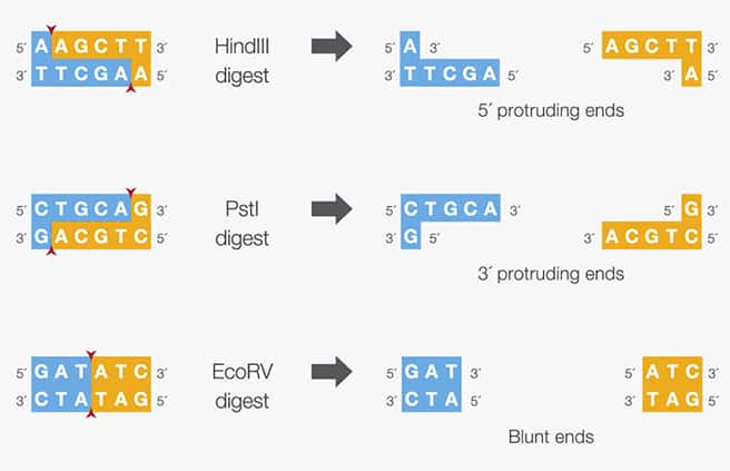restriction endonucleases classification properties and applications